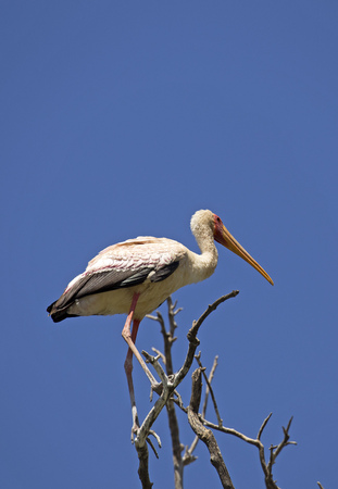 White stork on a tree taken in east Africa