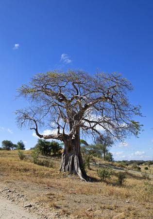 Baobab tree taken in Tarangire park