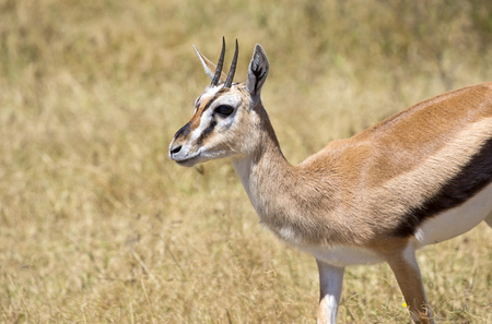 Thomson gazelle from east Africa Stock Photo