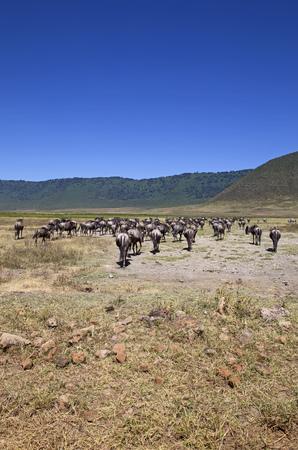 Migration of the blue gnus