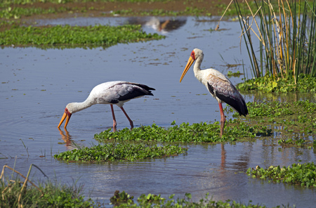 Two white storks on a pond Stock Photo