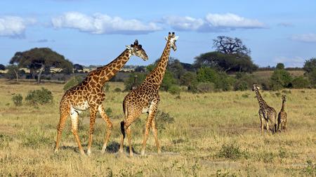 Familia de jirafas en el parque de Tarangire