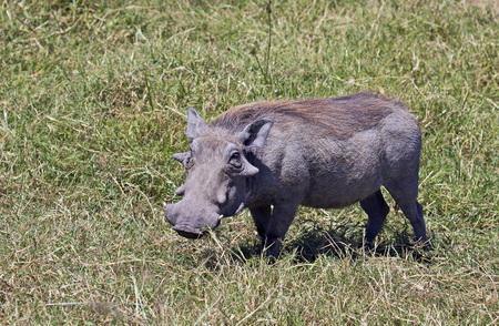 Wild warthog on grassland