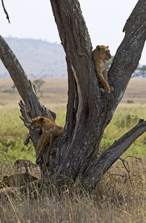 Young lions in a tree, east Africa