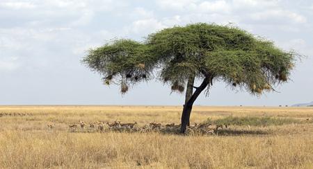 Umbrella tree with herd of gazelles under it, Serengeti