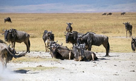 Herd of gnus in Serengeti national park