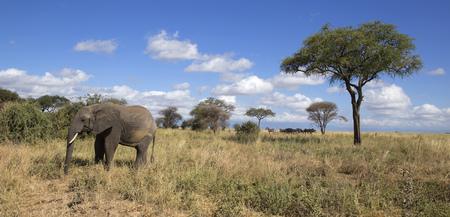joshua tree national park: Elephant in Tarangire park