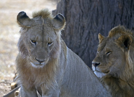head protection: Two male lion side to side, rare situation