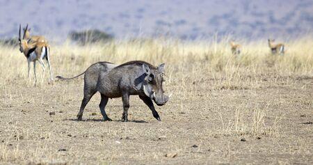 Wild warthog taken in Serengeti national park Stock Photo
