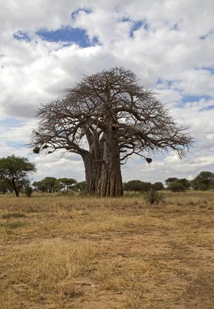 Baobab tree in Tarangire park, Tanzania