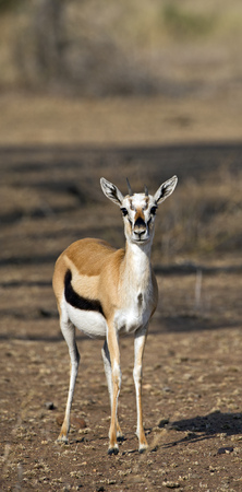 Thomsons gazelle in Serengeti national reserve, east Africa
