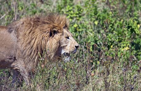 Lion hunting for food in east Africa Stock Photo