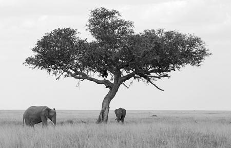 Elephants under umbrella tree, black and white Stock Photo