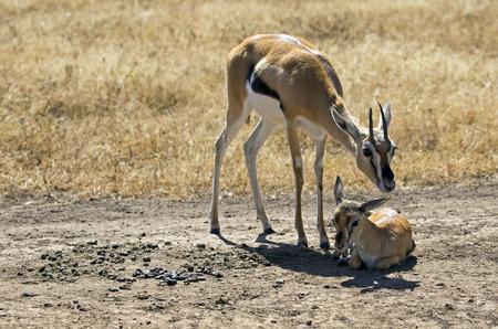 Thomson gazelle with her baby 版權商用圖片