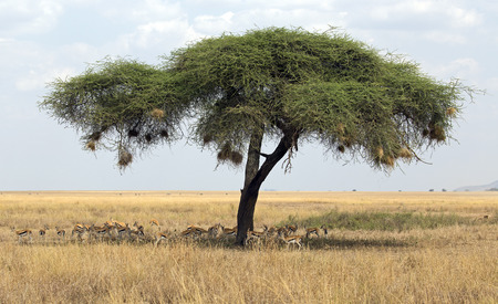 Herd of gazelles under umbrella tree