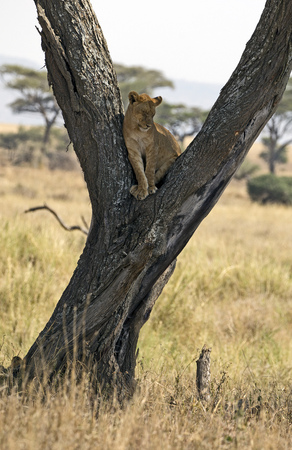 Wild young lion in a tree, east Africa