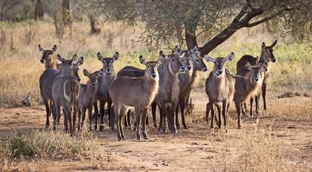 Group of waterbucks in Tarangire reserve, Tanzania Stock Photo