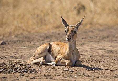 Baby grant gazelle Stock Photo