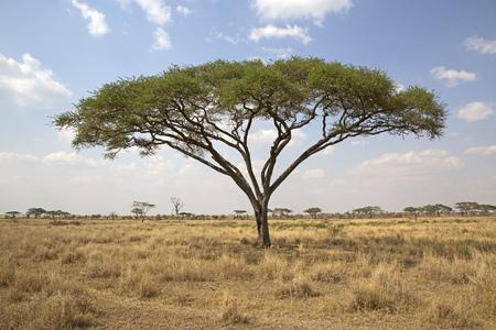 Acacia tree in Serengeti national park, Tanzania