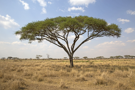 Acacia tree in Serengeti national park, Tanzania