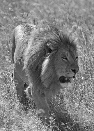 Black and white wild lion closeup Stock Photo