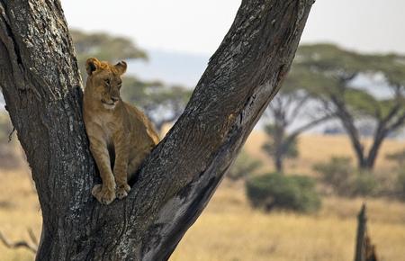 Beautiful wild lion taken in east Africa