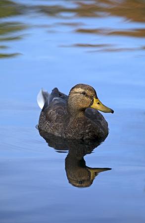 Mallard duck on calm pond
