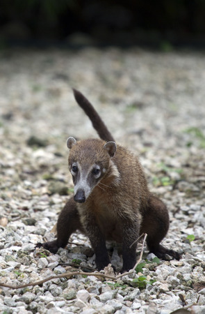 Little coati taken in Playacar, Mexico