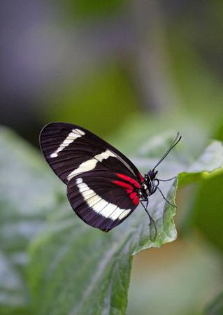 Postman butterfly closeup on a green leaf