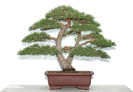 Bonsai pine tree over white wall