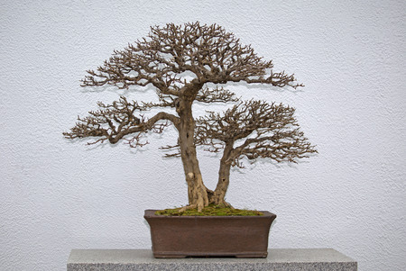 Bonsai tree without leaves in the winter