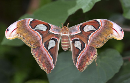 Big atlas moth on green leaves