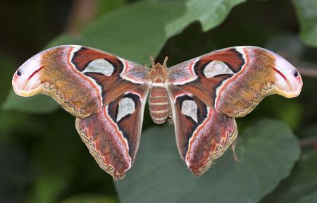 Big atlas moth on green leaves