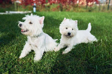 A pair of lovely west highland white terrier walk in the yard on the green grass in Sunny autumn weather. Pets, loyal friends. General plan. Фото со стока