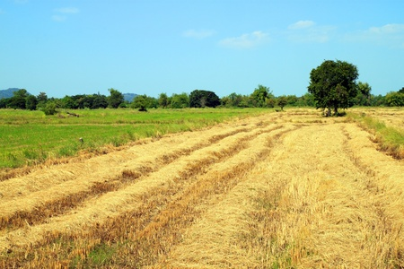 straw by product from rice field photo