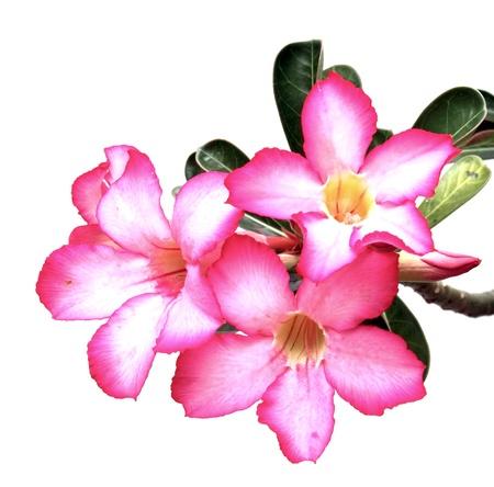 Desert rose flowers on white background photo