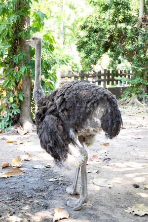 portrait of ostrich photo