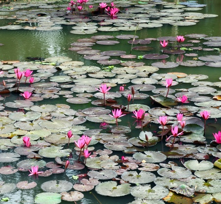 pink lotus: Lotus pond scenery