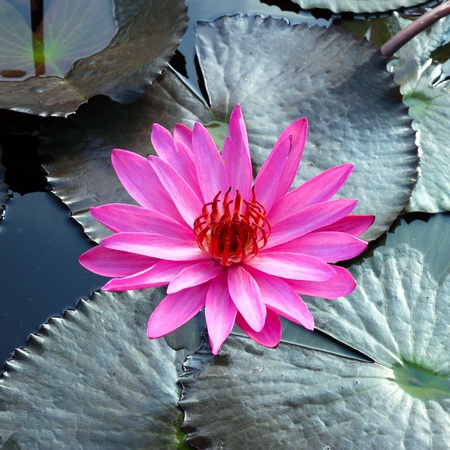 PInk Lotus on the River Stock Photo - 11865847