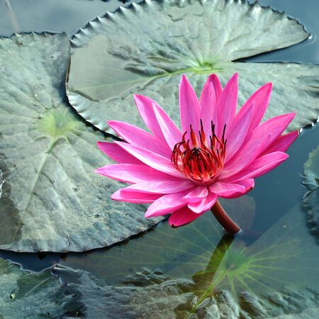PInk Lotus on the River Stock Photo - 11865840