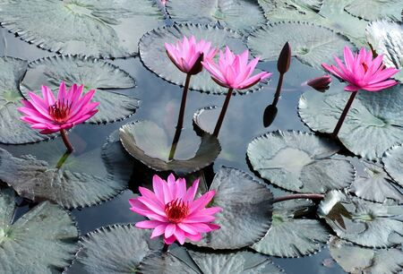 Water lily lotus flower and leaves photo