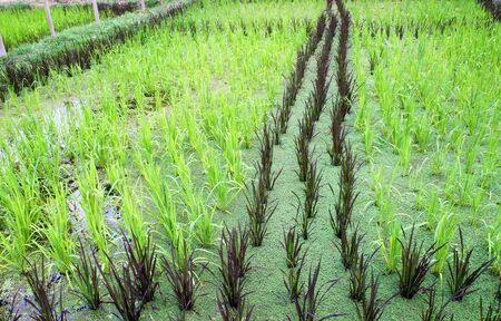 baby rice: Cultivation of baby sticky rice in water