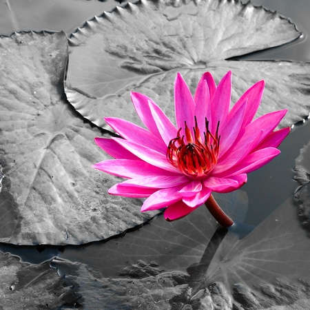 PInk Lotus on the River Stock Photo - 12887896
