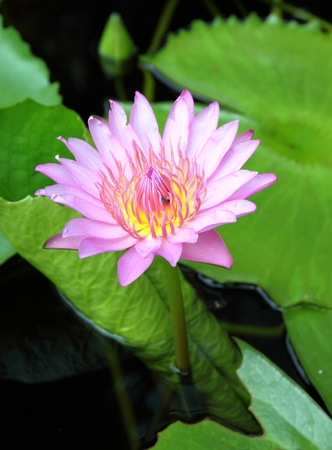 blooming pink lotus with insect Stock Photo - 12969920