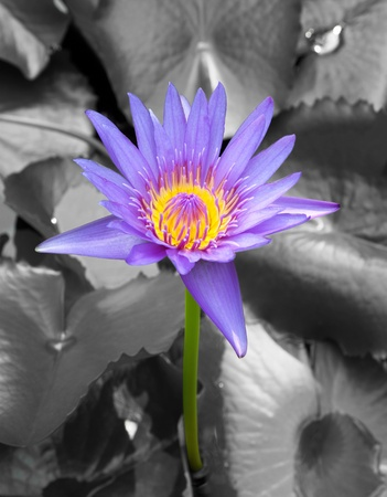 The blooming blue lotus in the natural pond photo