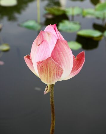 pink lotus on lotus pond photo