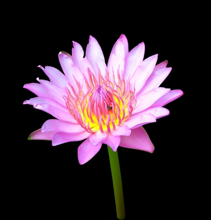 blooming pink lotus with insect on black background Stock Photo - 13130432