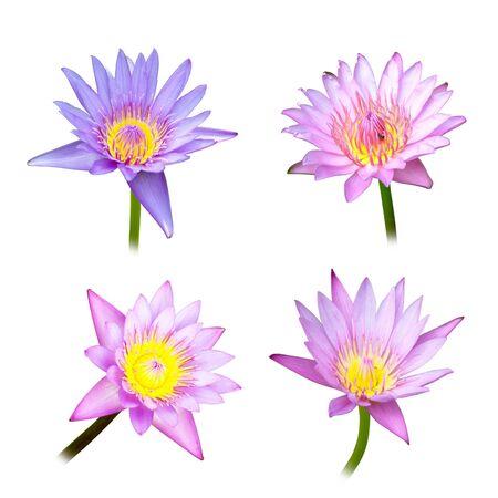 4 lotus on white background photo