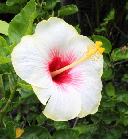 Beautiful tropical white hibiscus and its leaves