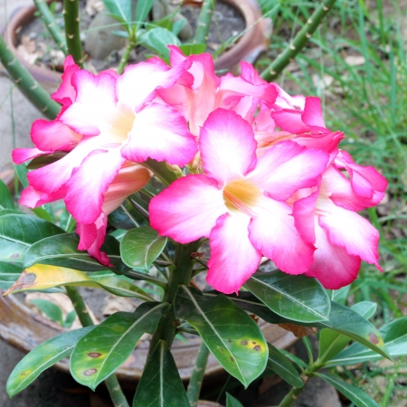 Tropical flower Pink Adenium (Desert rose) photo